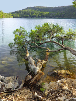 Fallen tree in lake at Mljet