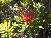 Cradle Mountain Flower Detail