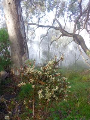 Canberra Mist 8