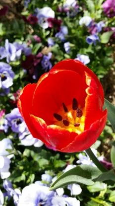 Tulip Tops © Tracey Benson